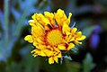 Gaillardia aristata Oranges and Lemons 0zz.jpg