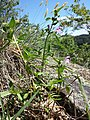 Galeopsis ladanum s. str. sl6.jpg