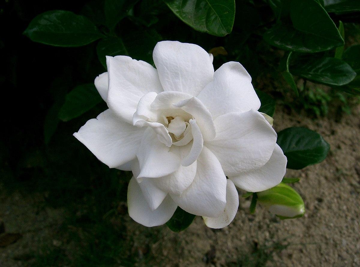 Gardenien Wikipedia