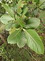 Gardenia latifolia 05.JPG