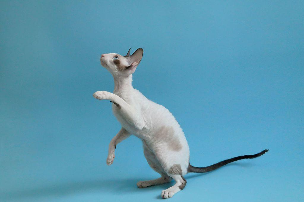 Gatos Cornish Rex 01