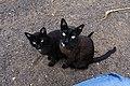 Gatos negros en Mancha Blanca, Lanzarote.jpg