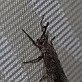 Geflecktflüglige Ameisenjungfer Euroleon nostras 0468.jpg