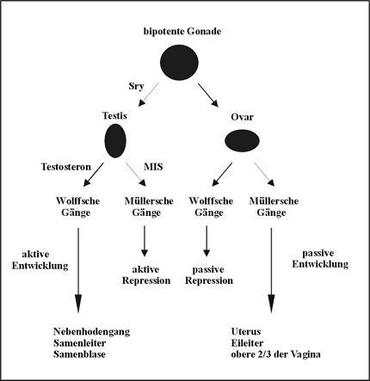 Biologische Geschlechter