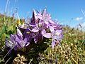 Gentianella austriaca sl4.jpg