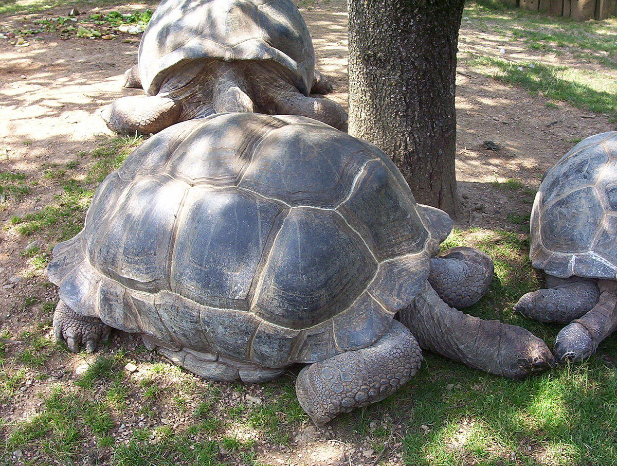 tartaruga gigante wikip dia a enciclop dia livre