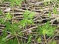 Geranium bicknellii 2-eheep (5097303471).jpg