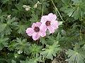 Geranium cinereum 01.jpg