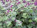Geranium richardsonii.jpg