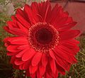 Gerbera flower Red.JPG