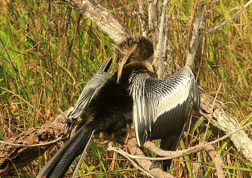 Gfp-more-anhinga-bird
