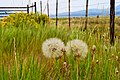 Giant Dandelion, Bridgeport, CA.jpg