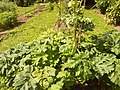 Giardino botanico di Brera (Milan) 151.jpg