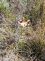 Gladiolus liliaceus (1).jpg