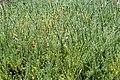 Gladiolus tristis 01.jpg