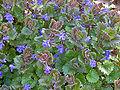 Glechoma hederacea, Hondsdraf (3).jpg