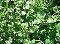 Glechoma hederacea2.jpg