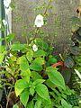 Gloxiniopsis racemosa.jpg