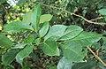 Glycosmis mauritiana 02.JPG