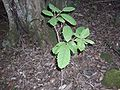 Gmelina leichhardtii juvenile Royal National Park.jpg