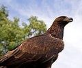 Golden Eagle 4a (6022930748).jpg