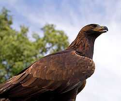 Golden Eagle 4a (6022930748).jpg