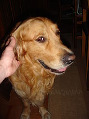 Golden Retriever 3450.JPG