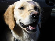 "The image ""http://upload.wikimedia.org/wikipedia/commons/thumb/8/81/Golden_Retriever_Hannah.JPG/180px-Golden_Retriever_Hannah.JPG"" cannot be displayed, because it contains errors."