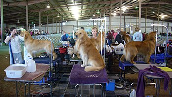 Golden Retrievers being groomed before a dog show.