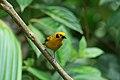 Golden Tanager 2015-06-07 (6) (40272130252).jpg
