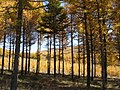 Golden forests at Chongli 崇礼金秋 (8181786661).jpg