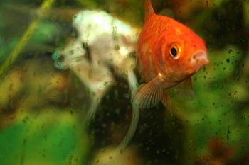 Gold fish on fish tank