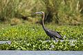 Goliath Heron - Liwonde - Malawi S4E2369 (15411338452).jpg