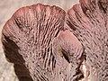 Gomphus clavatus hymenium close up.jpg