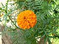 Gondephool (Konkani- गाँडेंफूल) (420116693).jpg