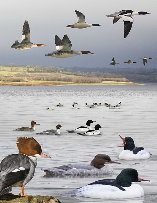 Goosander from the Crossley ID Guide Britain and Ireland.jpg