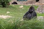 Gorilla gorilla gorilla (Gorille des plaines de l'Ouest) - 458.jpg