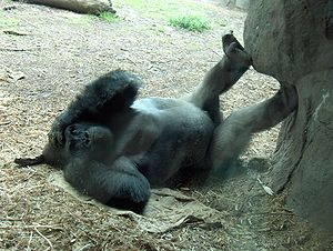 A Gorilla lounging around.