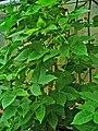 Gossypium herbaceum 001.JPG