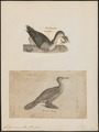 Graculus sinensis - 1700-1880 - Print - Iconographia Zoologica - Special Collections University of Amsterdam - UBA01 IZ18000083.tif