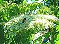 Grande berce du Caucase giant hogweed heracleum mantegazzianum (992933027).jpg