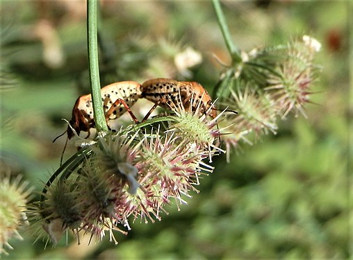 Graphosoma lineatum mating (4).jpg