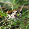 Grasshopper (Chorthippus brunneus), Sandy, Bedfordshire (15234101767).jpg