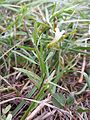 Gratiola officinalis sl9.jpg
