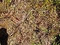 Gratiola sexdentata R.Cunn. ex A.Cunn. (AM AK295020-1).jpg
