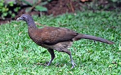 Gray-headed Chachalaca (6901564788).jpg