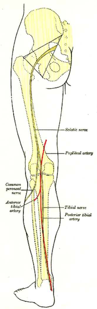 Posterior tibial artery - Back of left lower extremity, showing surface markings for bones, vessels, and nerves (posterior tibial artery labeled at bottom right).