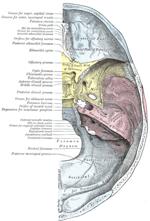 Anterior cranial fossa - Base of the skull. Upper surface. (Anterior cranial fossa is the top of the three indentations.)