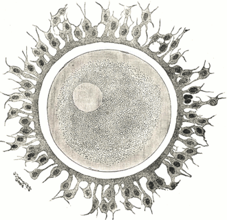 Egg cell - A human egg cell with surrounding corona radiata