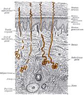 Sweat gland - Wikipedia